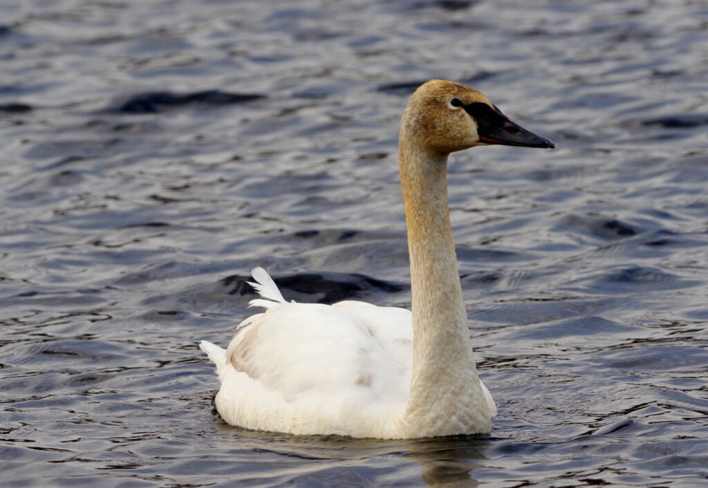 Tumpeter Swan, Immature Adult.